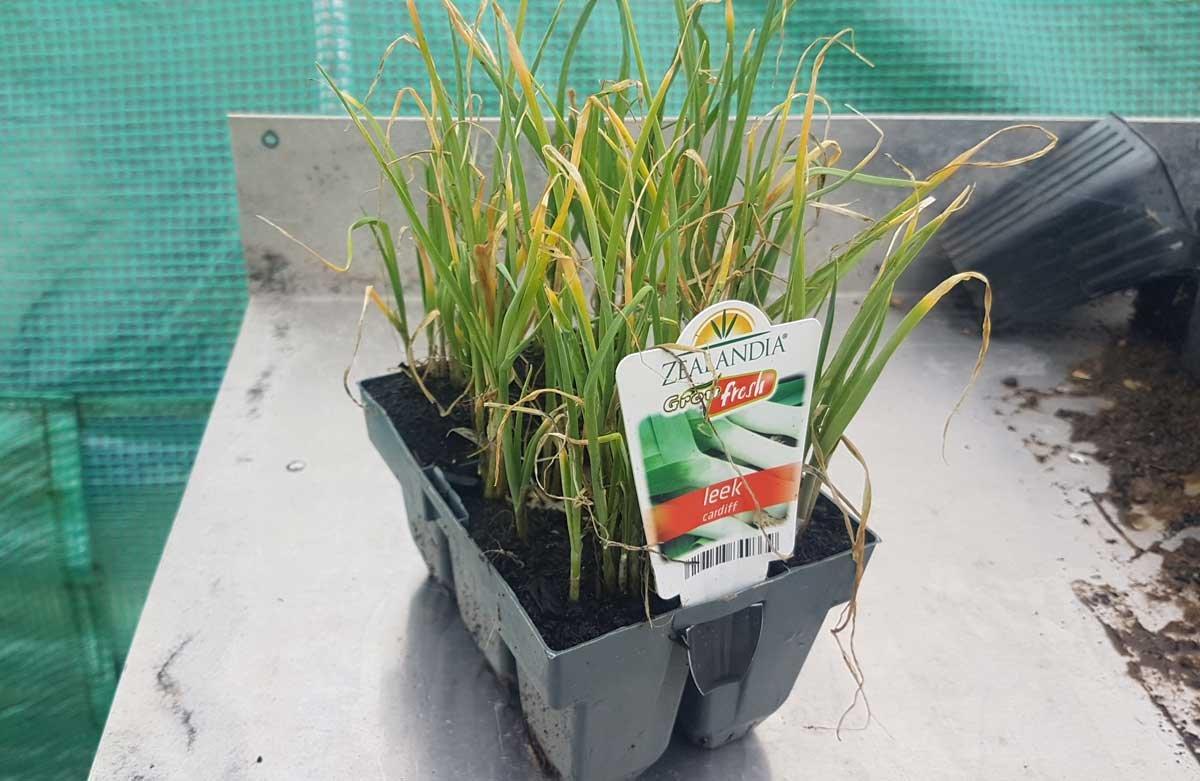 Leek seedlings before planting