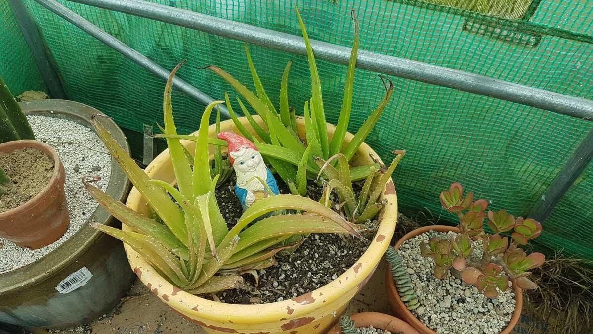 Aloe in a lerge pot with a garden gnome