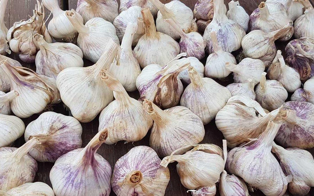 Takahue garlic