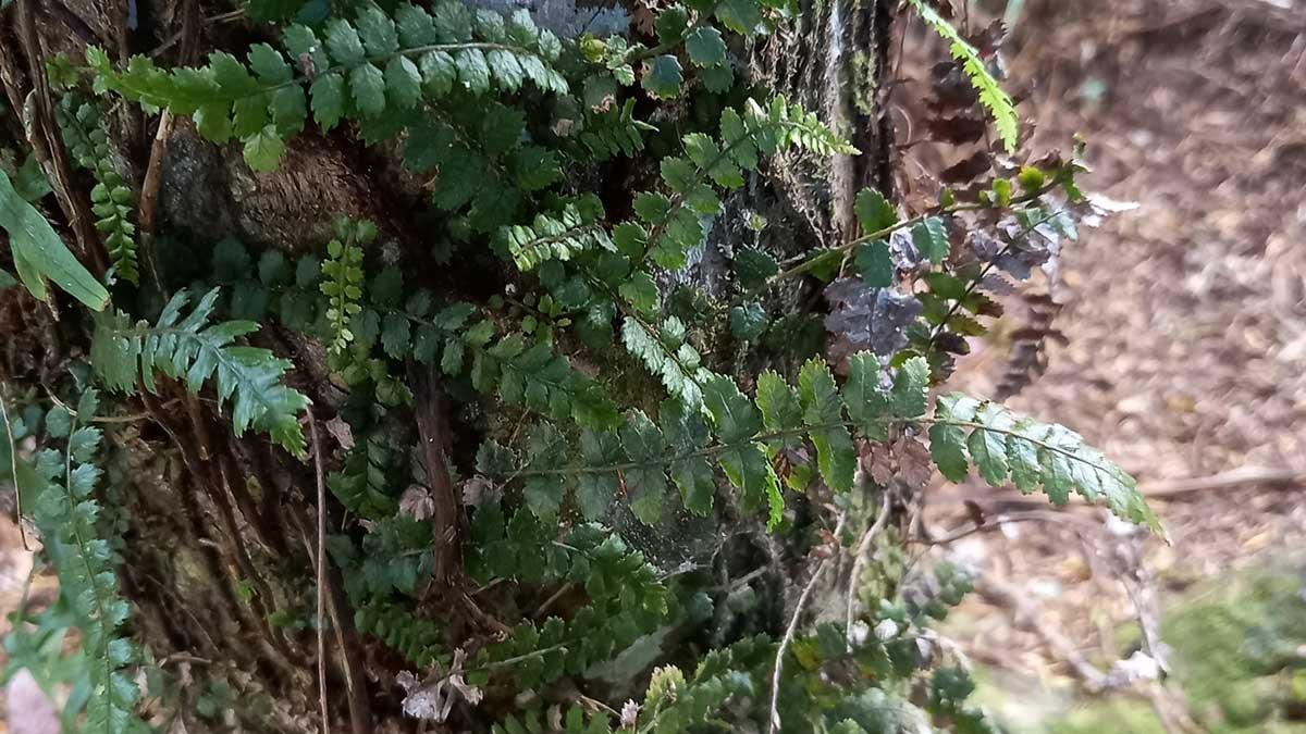 Thread fern