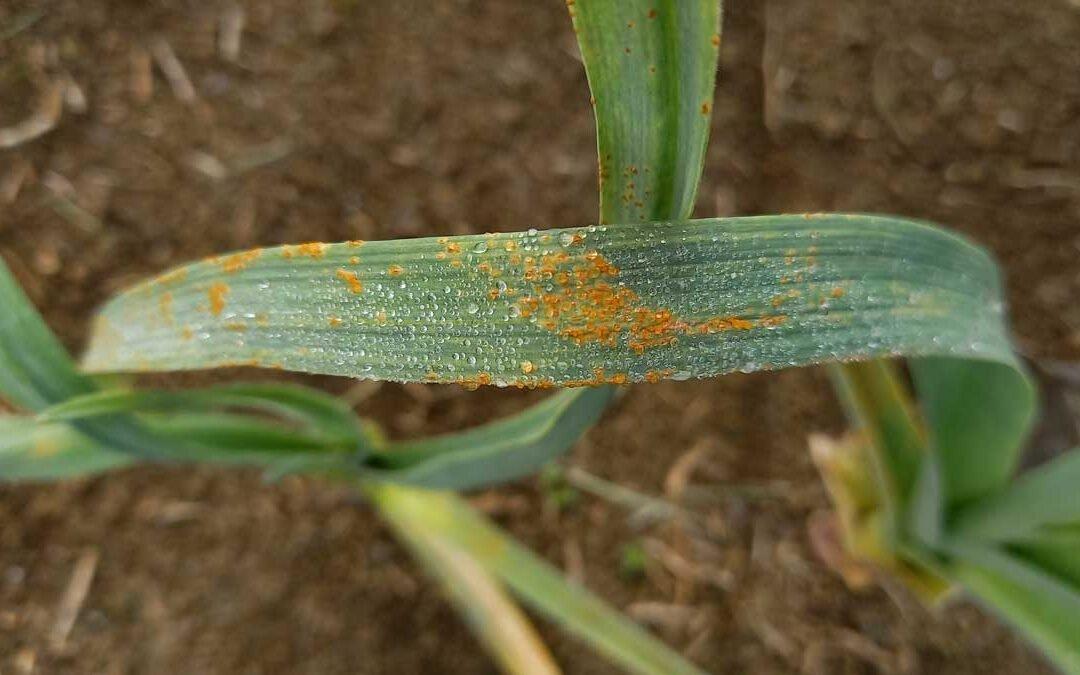 The dreaded garlic rust